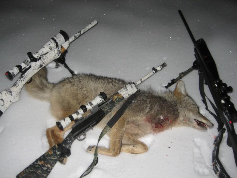 coyote hunting guns best coyote varmint hunting rifles. Black Bedroom Furniture Sets. Home Design Ideas